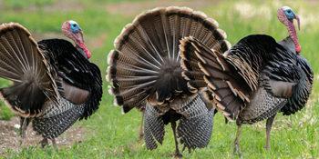 South Texas Turkey Hunts
