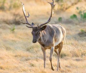 Trophy Fallow Deer
